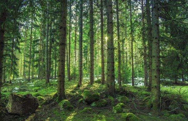 radiata-pine-resize